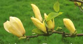 magnolia 'Yellow Fever'
